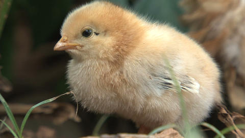 Little chicken close up Stock Video Footage