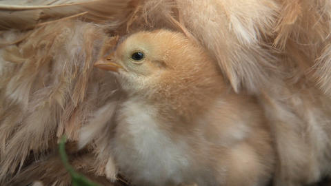 Little chicken under and around mothers wings Stock Video Footage