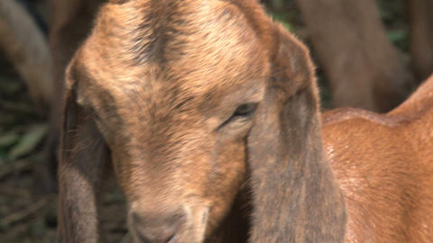 Baby Goat with long ears Stock Video Footage