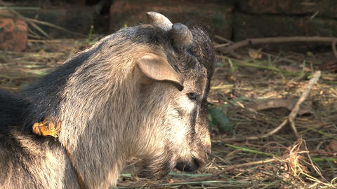 Goat head close up Stock Video Footage