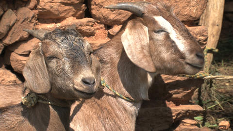 Two Goats relaxing in the sun Footage