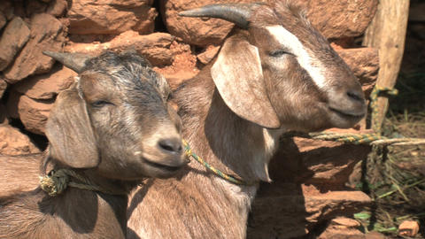Two Goats relaxing in the sun Stock Video Footage