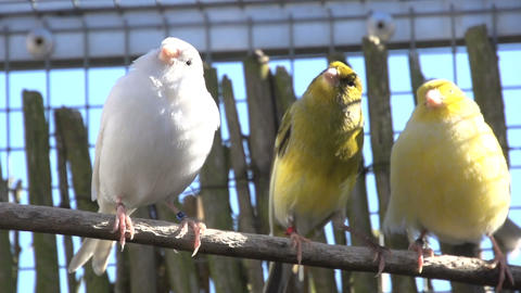 Three Canaries on a stick Stock Video Footage