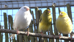 Three Canaries On A Stick stock footage