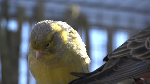 Canary looking around Stock Video Footage