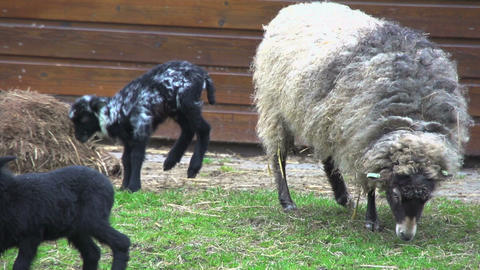 Baby skudde sheep jumping around mother Stock Video Footage