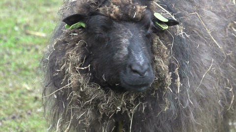 Mother skudde sheep looking in to the camera Stock Video Footage
