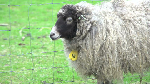 Skudde sheeps walking to each other Stock Video Footage