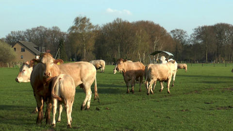 Beef cattle on meadow Stock Video Footage