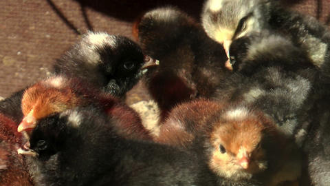 baby chicks warming up Stock Video Footage