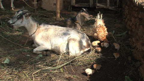 White goat chewing together with baby chickens Footage