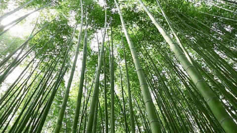 Bamboo Grove, stock footage