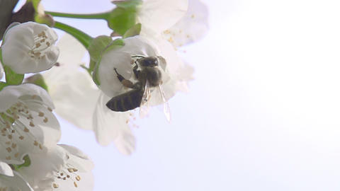 Bee on a Flower Cherry HD Stock Video Footage
