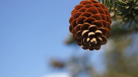 Fir cone (close up) Stock Video Footage
