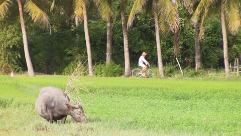 buffalo in the field Stock Video Footage