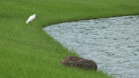 Monitor Lizard Drinking Water Stock Video Footage