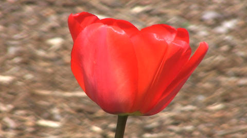 Red Tulip Close Up Footage