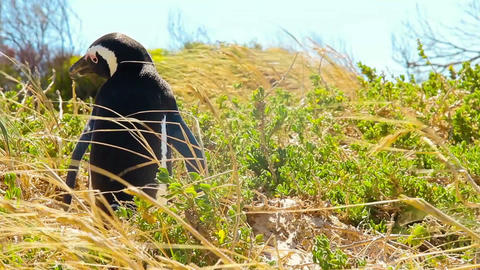 Penguin in the wild Stock Video Footage
