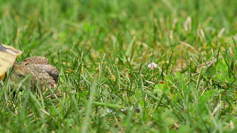 Old turtle on the grass Stock Video Footage