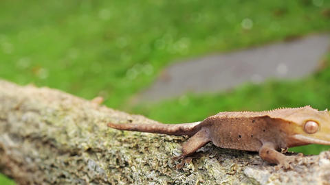 Lizard gecko Stock Video Footage