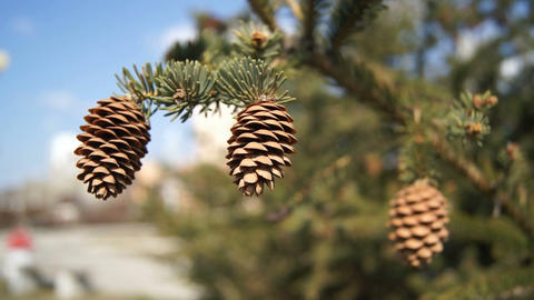 Three Fir-cones On The Branch Of Spruce (close Up) stock footage