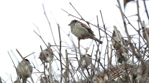 Flock of sparrows sitting on bare bush Footage