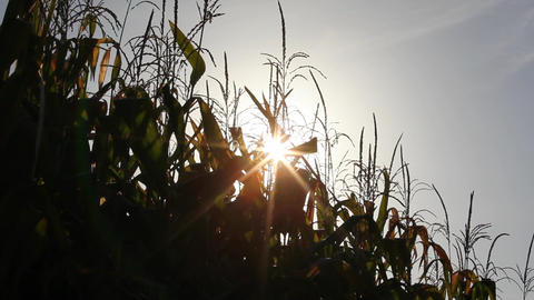Burst of sun behind maize plants Stock Video Footage