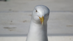 Herring Gull 2 Stock Video Footage