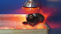 Marmoset Monkey 1 Stock Video Footage