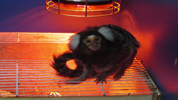 Marmoset Monkey 1 Stock Video Footage