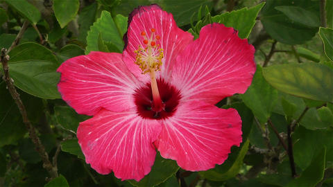 Hibiscus in Tropical Japan 1 Footage