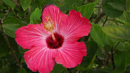 Hibiscus in Tropical Japan 1 Stock Video Footage
