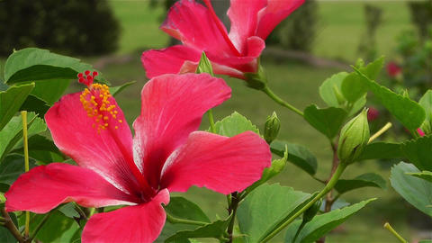 Hibiscus in Tropical Japan 3 Stock Video Footage