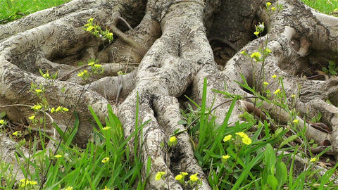 Old Tree Roots and Flowers at Spring 1 Stock Video Footage