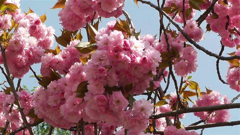 Springtime Blossoming Tree 2 Stock Video Footage