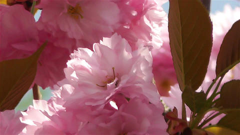 Springtime Blossoming Tree 4 Stock Video Footage