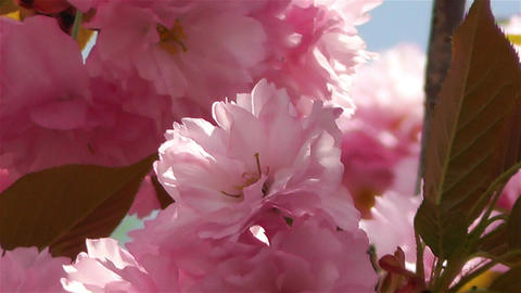 Springtime Blossoming Tree 4 Footage