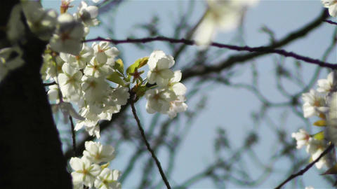 Springtime Blossoming Tree 6 Stock Video Footage