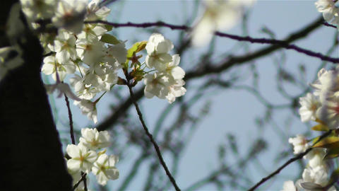 Springtime Blossoming Tree 6 Footage