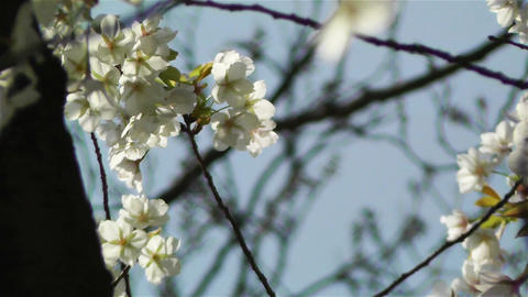Springtime Blossoming Tree 6 Stock Video Footage