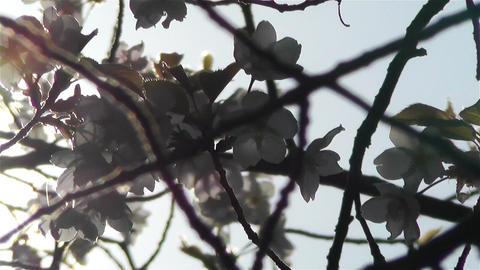 Springtime Blossoming Tree 10 Stock Video Footage