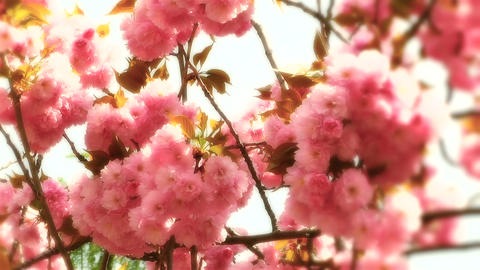 Springtime Blossoming Tree 12 stylized Footage