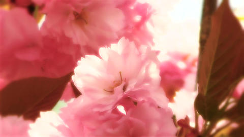 Springtime Blossoming Tree 14 stylized Footage