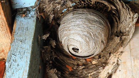 Wasp in Nest Footage
