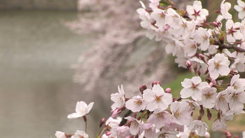 Cherry blossom in Japan Stock Video Footage