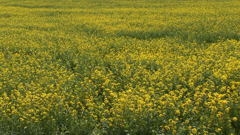 Rape blossoms Stock Video Footage