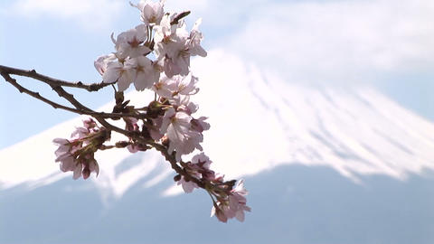 Cherry blossom and Mt. Fuji 영상물