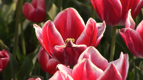 Tulip Footage