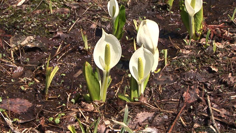 Asian skunk cabbage Footage