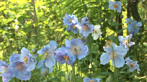 Blue poppy Stock Video Footage